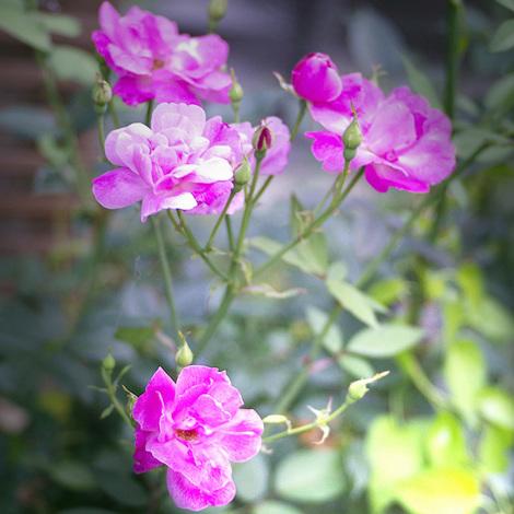 庭のバラ.jpg