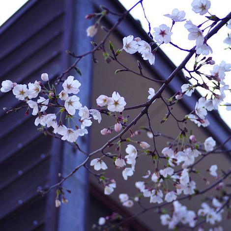 桜2019.jpg