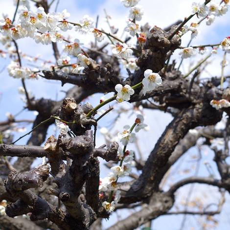 Japanese apricot.jpg