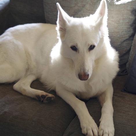 Shepard dog.jpg