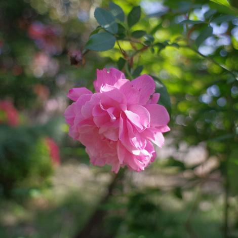 roses2021.jpg