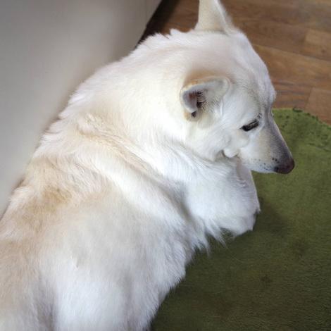 white-shepard1.jpg
